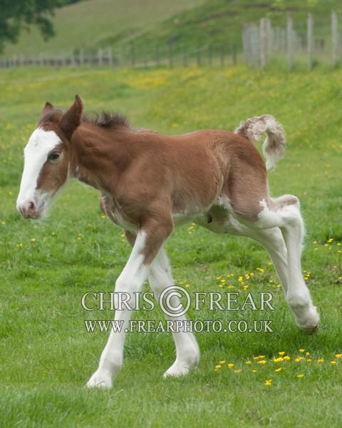 ryecroft-17 - Clydesdales 2013 Include Foals