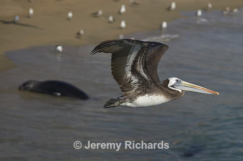 Peruvian Pelican in Flight - Wildlife of Chile
