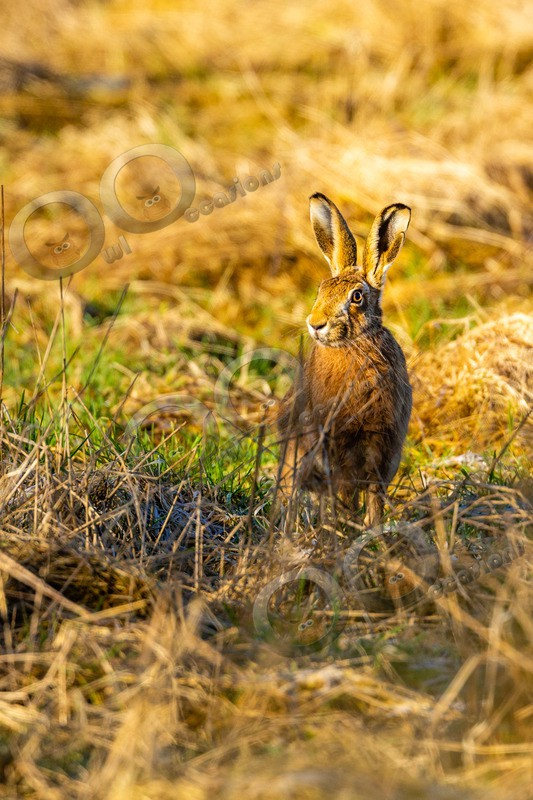 hare Lepus europaeus-4280-2 - UK Wildlife