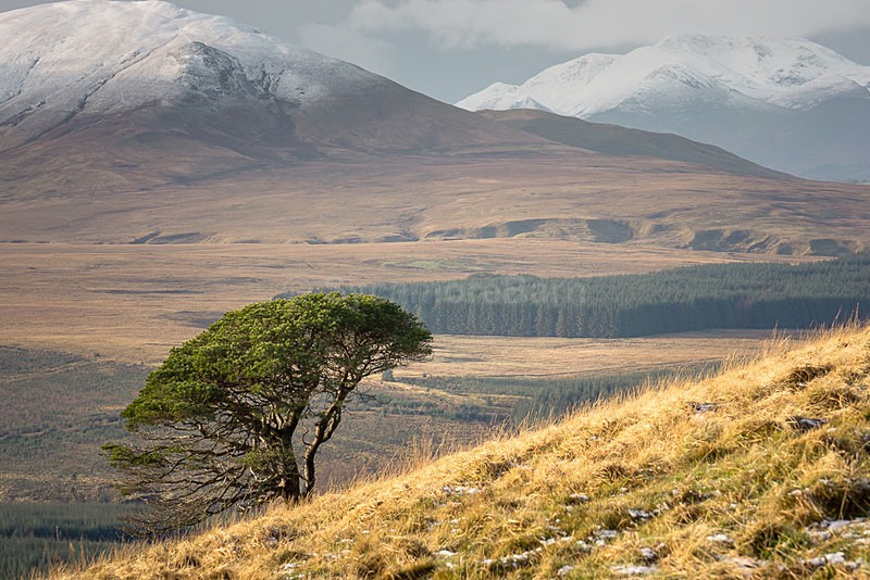 Lone tree on Great Mell Fell - Landscape Gallery