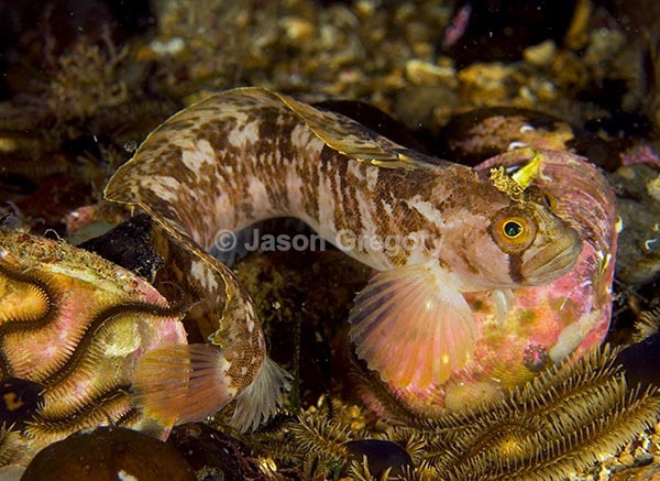 Yarrell's Blenny (Chirolophis ascanii) 1 - Fishes – bony and cartilagous (Pisces)