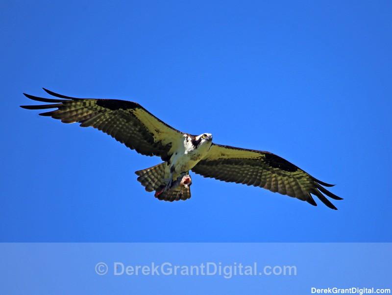 Osprey in Flight - 1 - Birds of Atlantic Canada