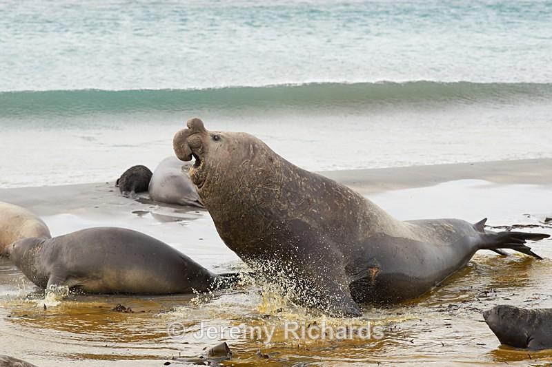Male Elephant Seal - Sea Lion Island