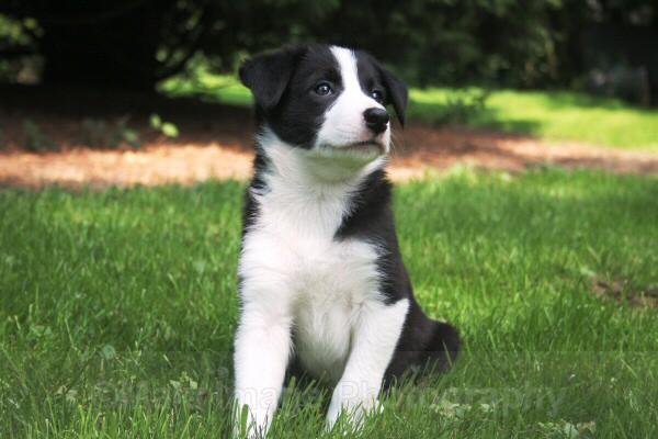 1 Seven weeks old - SASHA