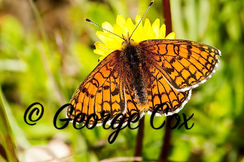 Meadow Fritillary - Vercors Butterflies