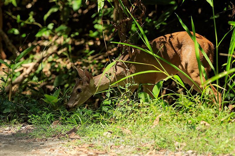 White-tailed Deer, Costa Rica - Deer