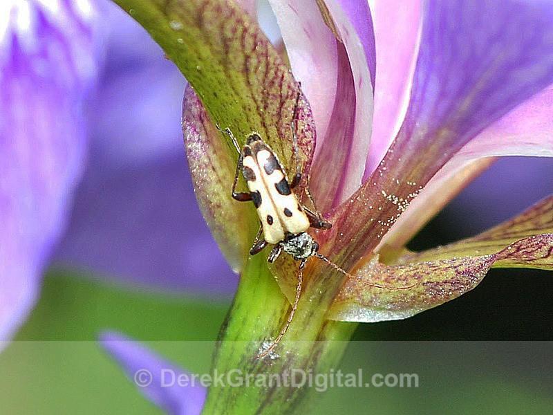 Flower Longhorn Beetle Evodinus monticola - Bees, Beetles, Bugs