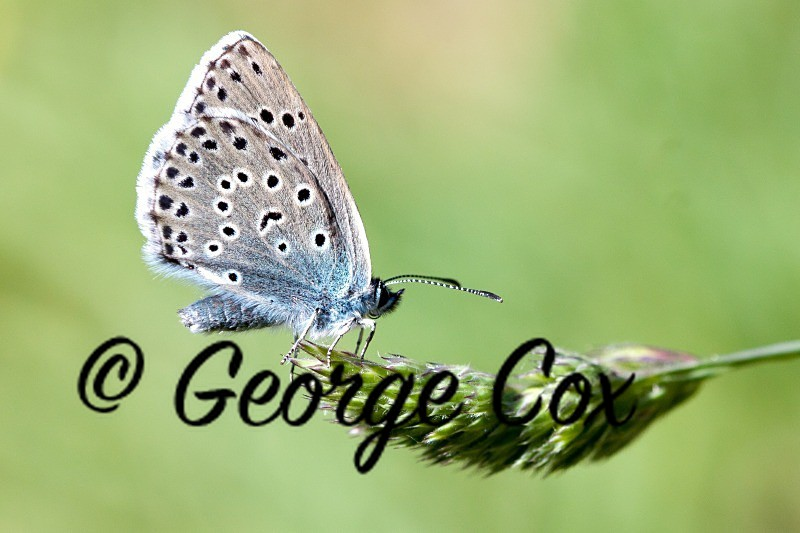 large blue butterfly phengaris arion