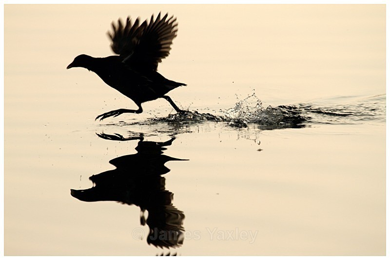 Moorhen Silhouette - The British Wildlife Photography Awards 2009 to 2014