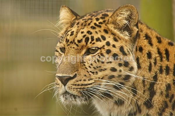 Amur Leopard - Comet - Cat Survival Trust - Big and Small Wild Cats