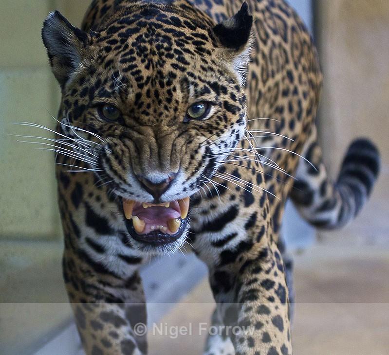 Jaguar close-up - Jaguar