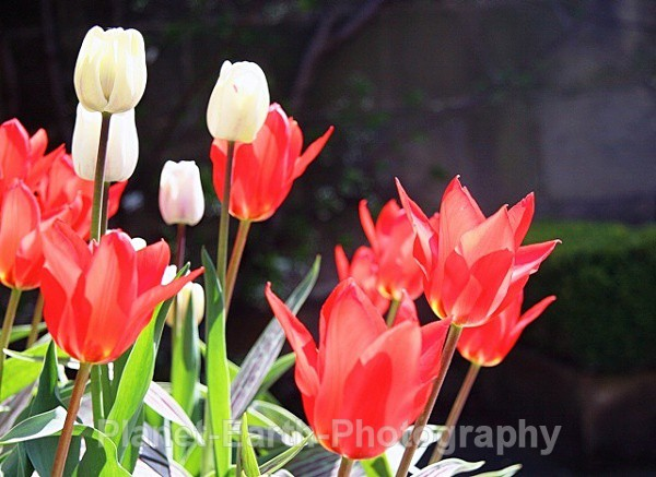 Riddlestone Tulips 1 - Flora and Fauna