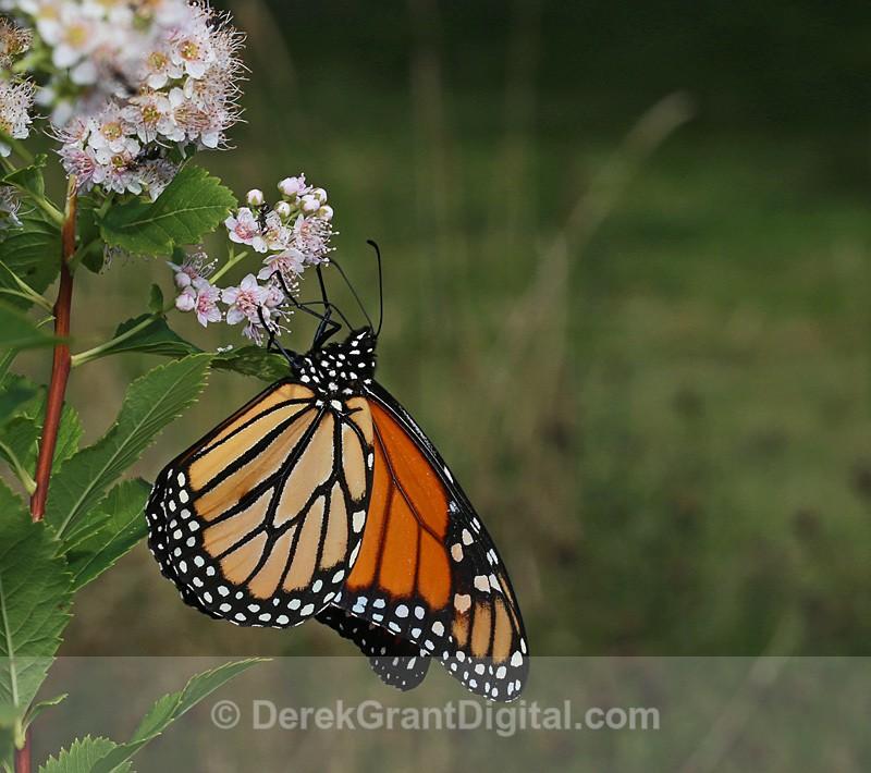 Monarch Butterfly - Butterflies & Moths of Atlantic Canada