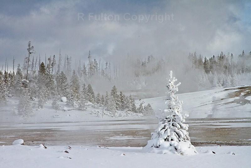 Snow Tree - Yellowstone