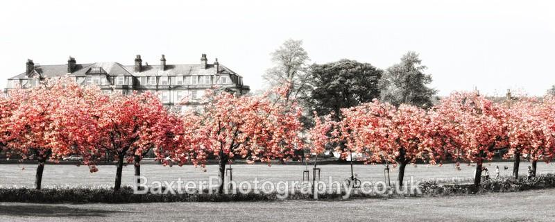 Cherry-Blossom Walk (Selective Colour - Panoramic 2.5x1 Version) - Harrogate Town