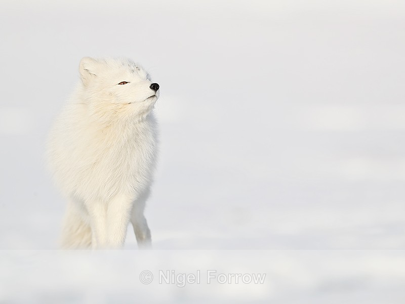 Arctic Fox sniffing, Svalbard, Norway - Arctic Fox