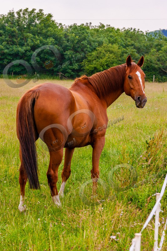 Chestnut horse-7950 - Pet Photography