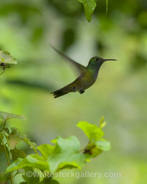 The Hummingbird - Wildlife and Animals