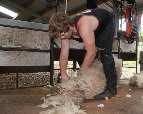 7 - Shearing at Glenwhargen Farm
