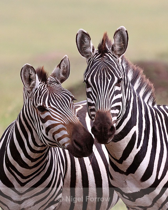 Zebras nuzzling - Zebra