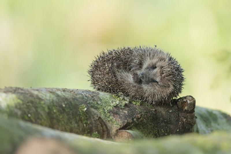 HHE - Hedgehogs