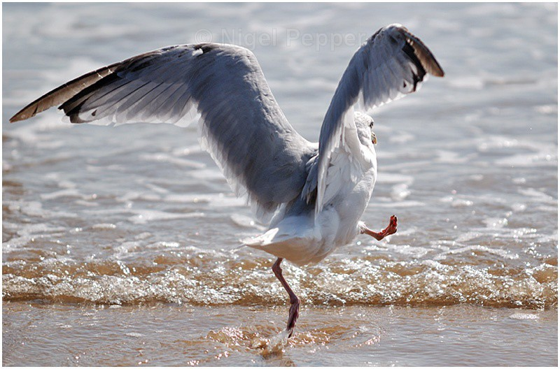 Highland Fling! - Leggy the Herring Gull