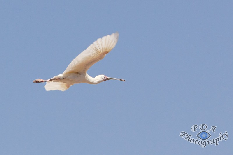 13 Yellow-Billed Spoonbill