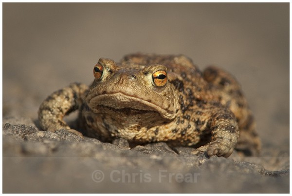 Toad - Rural Life