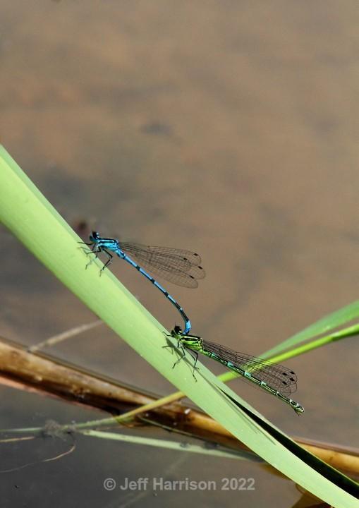 2 Damselflies (image Dams 01) - Dragonflies & Damselflies