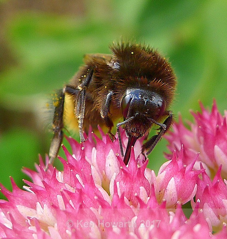 Worker bee - Natural World