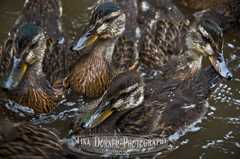 Ducklings. Forest of Dean & Wye Valley Photography by Tina Dorner