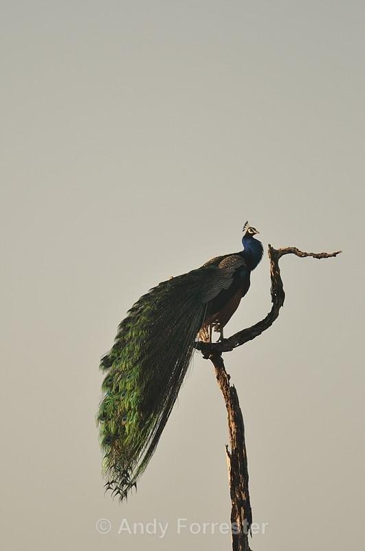 Peacock - Yala Sri Lanka