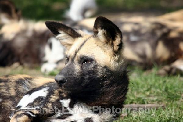 African Wild Dog 1 - African Wild Dogs