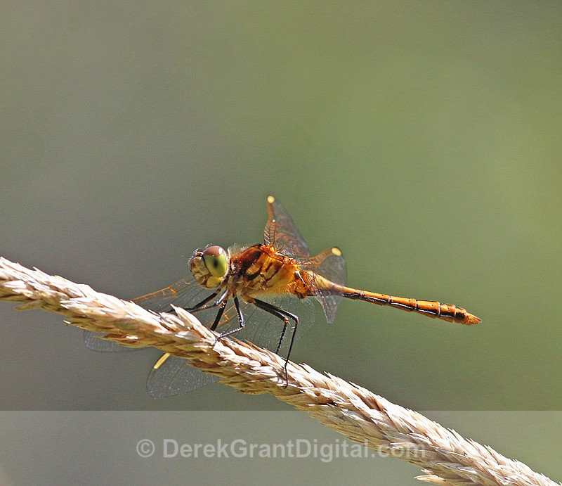 White-faced Meadowhawk (female) - Dragonflies of Atlantic Canada