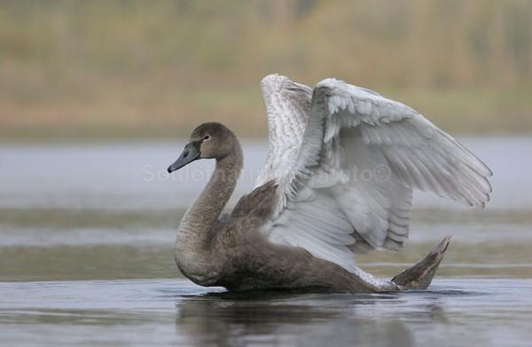 Cygnet, Angel Wings - Wildlife Wildlife