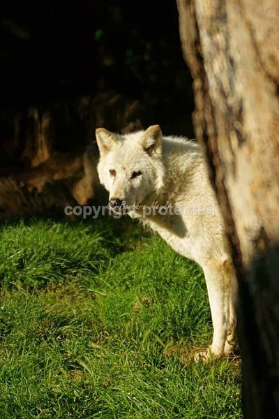 Wolf - Takala watching from behind a tree (Colchester Zoo) - Smaller Cats & Other Wildlife - Wolves