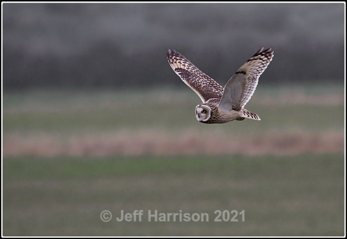 Short-eared Owl (image S-eO 01) - Latest additions