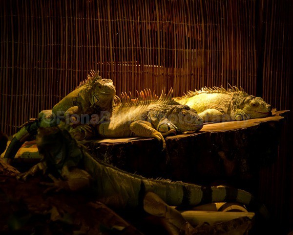 weymouth-141 - Reptile Photography
