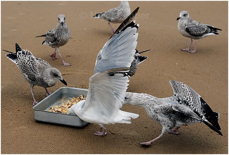 Feeding Time ( 5 ) - Leggy the Herring Gull