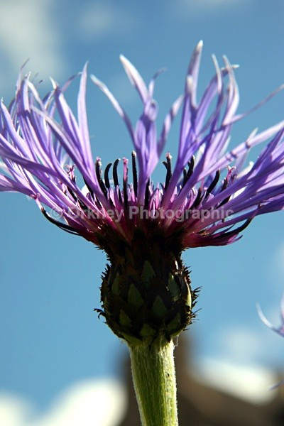 Thistle4561 - Orkney Images