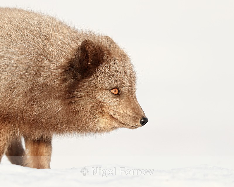 Dark Arctic Fox close-up, Svalbard, Norway - Arctic Fox
