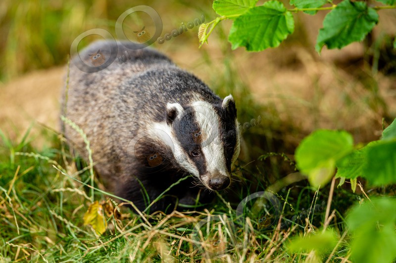 badger Meles meles-8175 - UK Wildlife