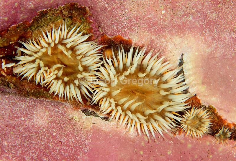 Sagartia elegans - Anemones (Anthozoa)