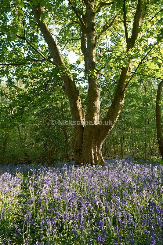Bluebell Wood - Barnsley - Yorkshire - Yorkshire
