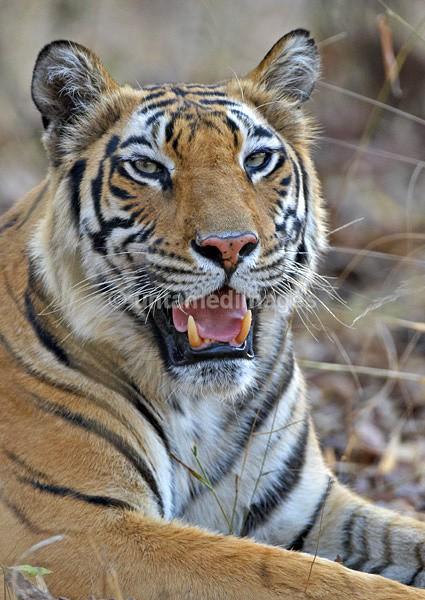 Royal bengal tiger - 9 - India