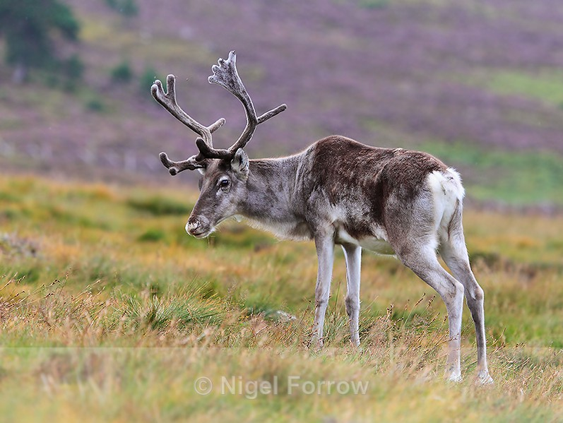 Reindeer with purple heather backgound - Reindeer
