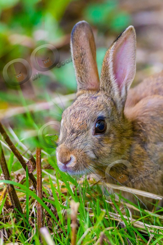 wild rabbit Oryctolagus cuniculus-1964 - UK Wildlife