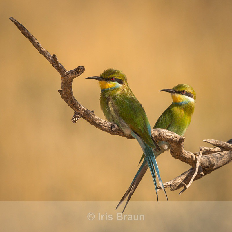 Bee Eater - Small Birds