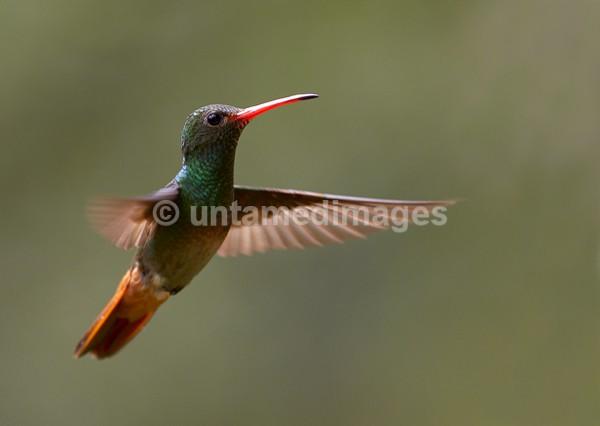 Rufous-tailed Hummingbird 2 - Galapágos