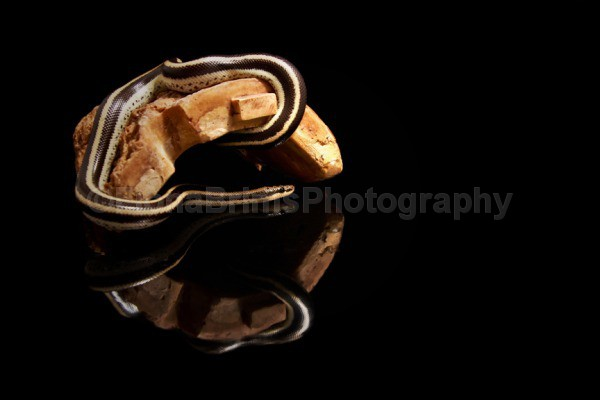 badger 2 lo - Reptile Photography